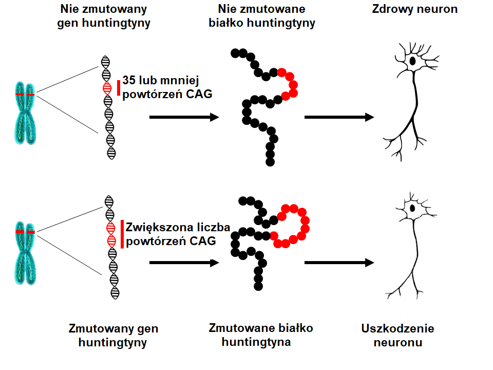 Huntingtin mutation